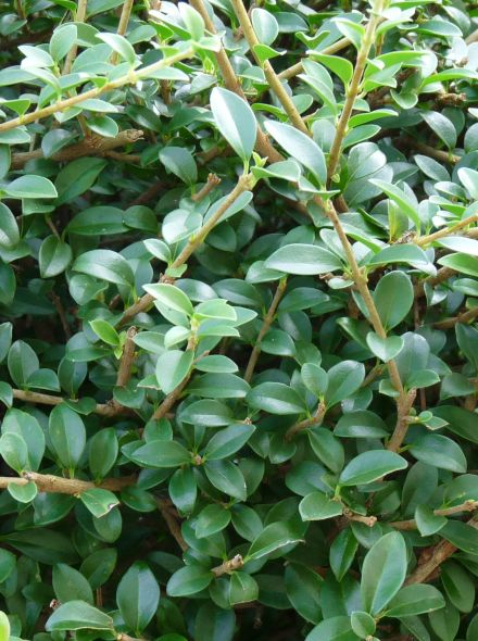 Groenblijvende Liguster dakvorm (Ligustrum delavayanum dakboom)