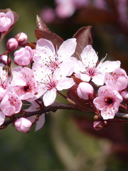 Roodbladige kerspruim dakvorm (Prunus cerasifera 'Nigra' dakboom)