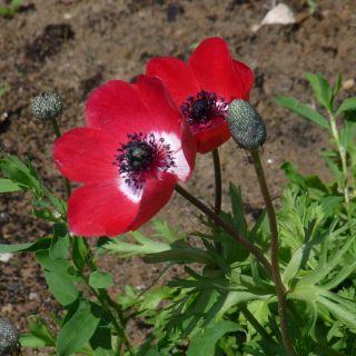 Anemone coronaria 'De Caen'