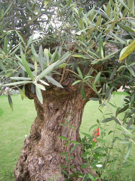Olea europea (Olijf als solitair, oude olijven)