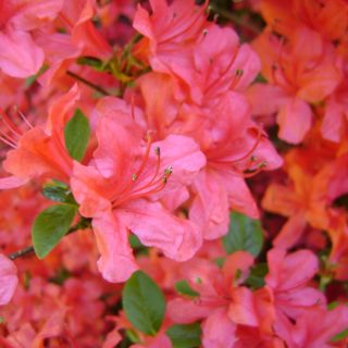 Azalea 'Geisha Orange' (Rhododendron Geisha Orange)