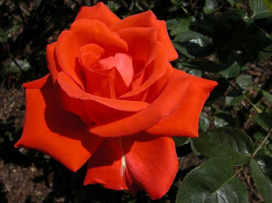 Rosa Alexander (oranje - oranjerode grootbloemige roos)