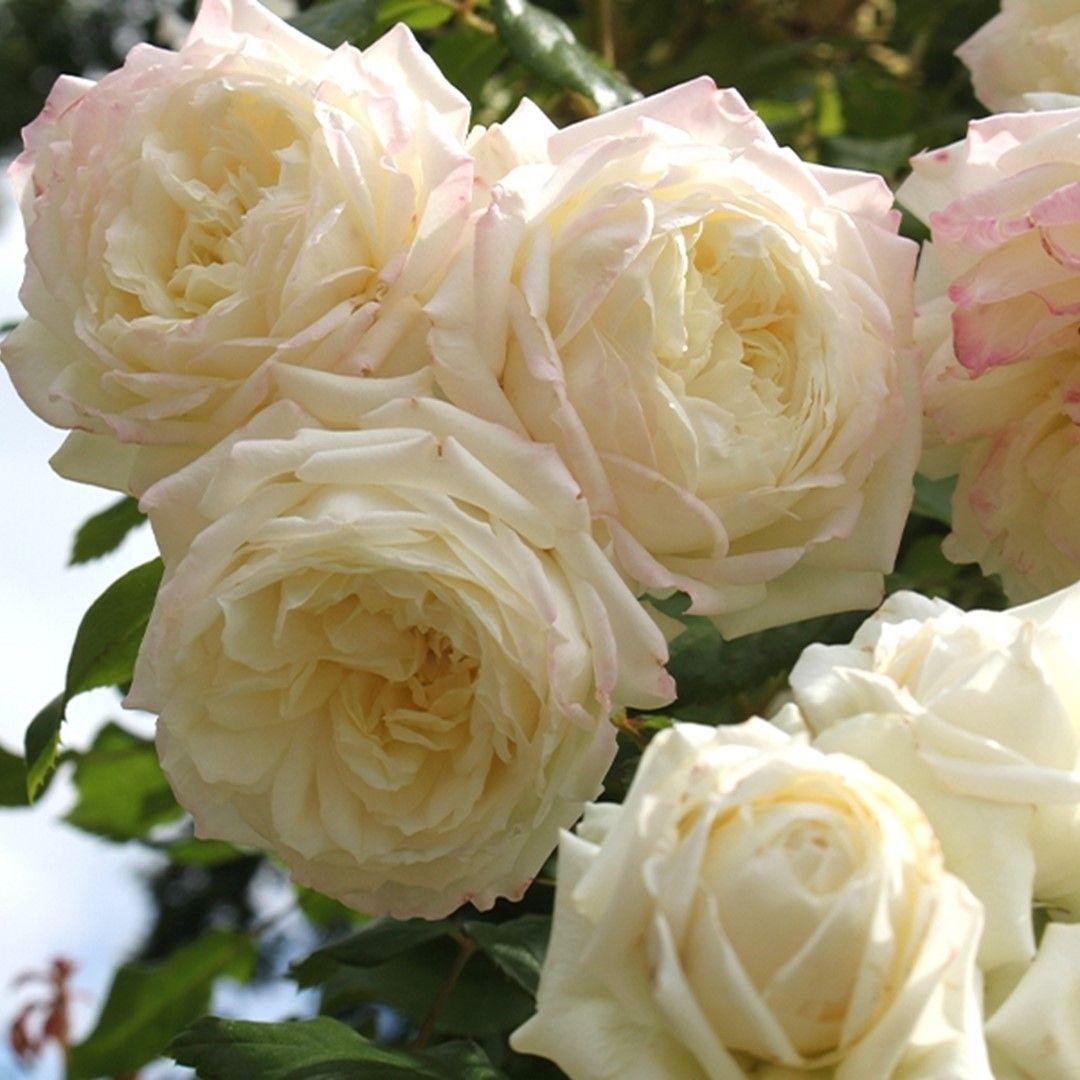 Rosa Alaska Geurende Crémewitte Klimroos De Tuinen Van Appeltern