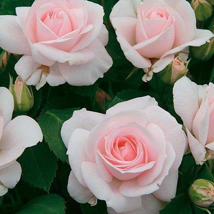 Rosa Aspirin Rose (stamroos 80-90 cm)