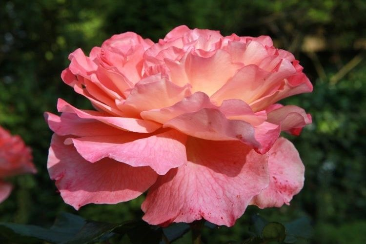 Rosa Augusta Louise (stamroos 90-100 cm)