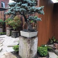 tuin met heel veel bonsai
