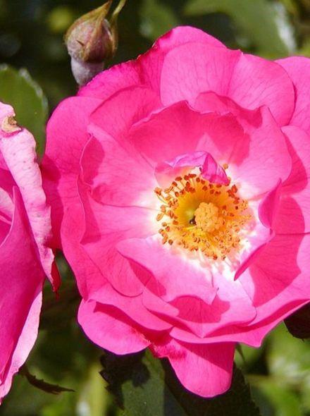 Rosa Heidetraum (stamroos 90-110 cm)