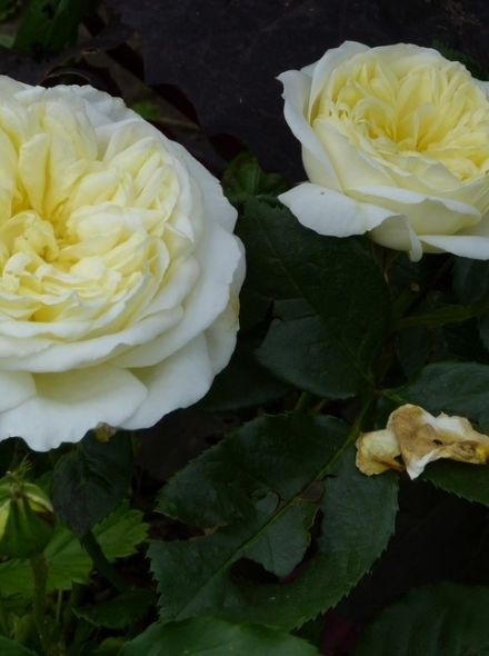 Rosa Kronprinsesse Mary (stamroos 80-90 cm)