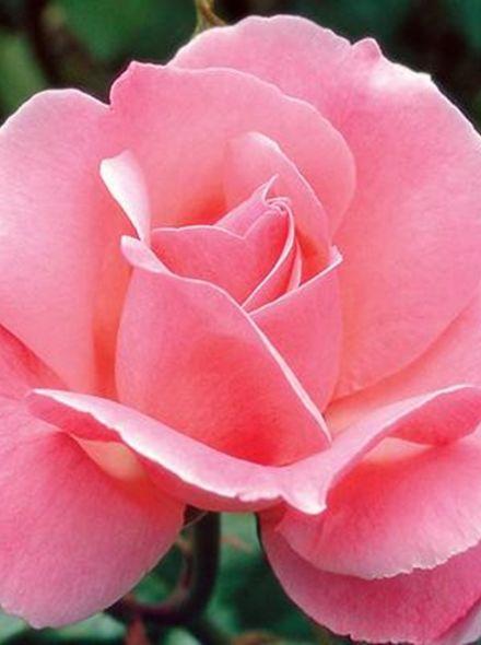 Rosa Queen Elizabeth (stamroos 80-90 cm)