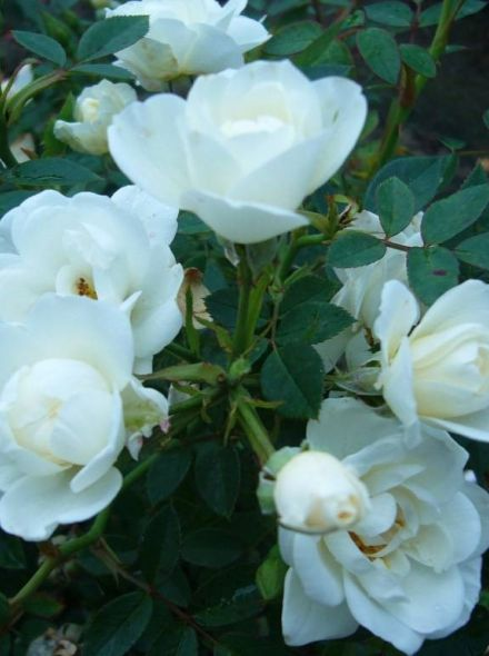 Rosa White Fairy (Stamroos 90 cm)
