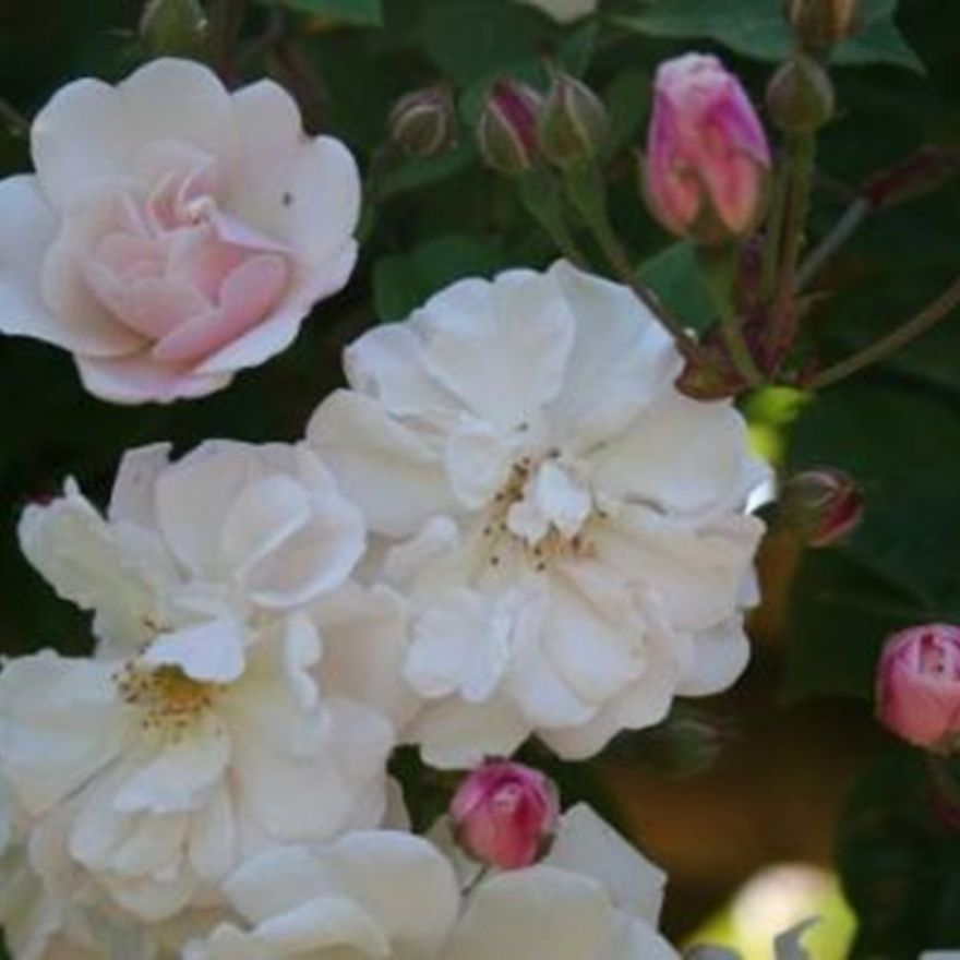 Rosa Adelaide d'Orleans (wit-roze rambler roos)