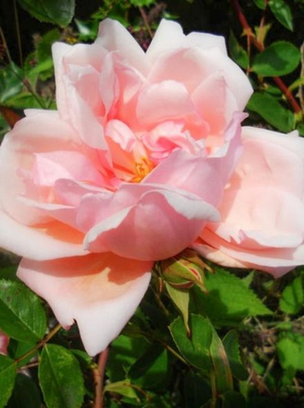 Rosa Albertine (Zalmroze rambler roos)