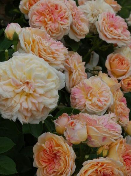 Rosa Alchemist (goudgeel oranje rambler roos)