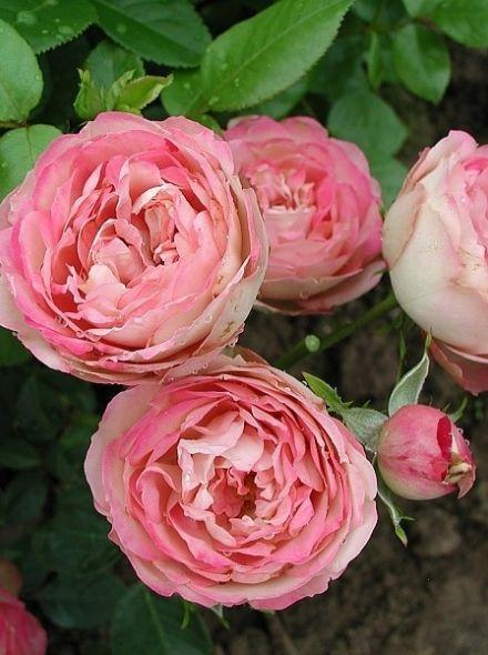 Rosa Acropolis KW (creme roze trosroos)