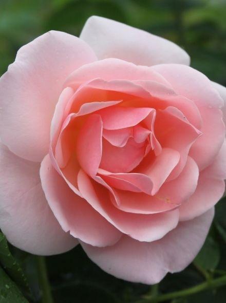 Rosa Astrid Lindgren (roze trosroos)