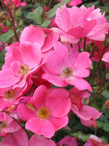 Rosa Betty Prior (oudroze kleurige trosroos)