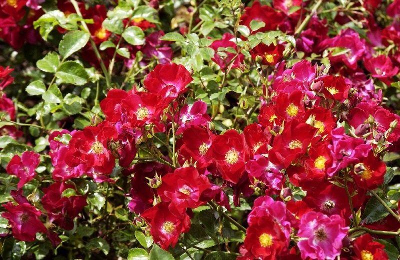 Rosa Alcantara KW (rode bodembedekkende trosroos, heesterroos)