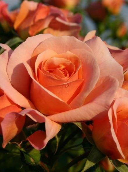 Rosa Aprikola KW (abrikoos gele trosroos)