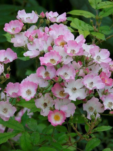 Rosa Ballerina KW (wit roze trosroos, heesterroos)