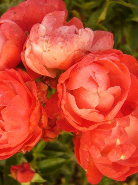 Rosa Briant Hill KW (oranje trosroos, bodembedekkende heesterroos)