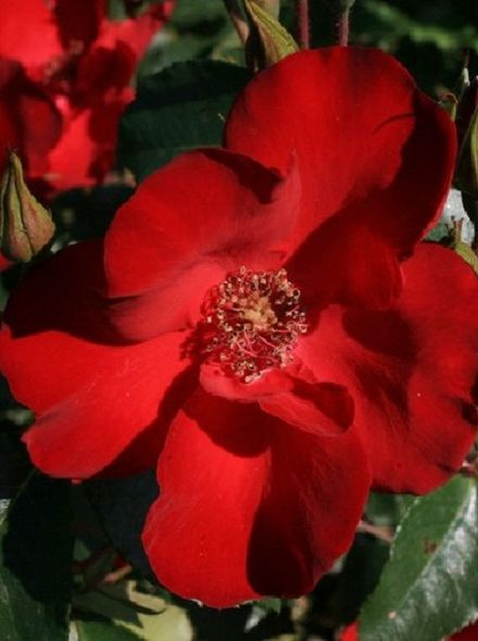 Rosa Cappa Magna KW (rode trosroos, heesterroos)