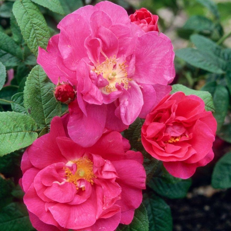 Rosa Gallica Officinalis (karmozijn rode - roze trosroos, heesterroos)