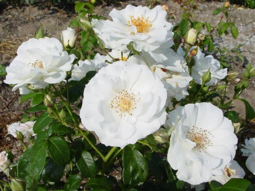 Rosa Kristal Perle Zuiverwitte Trosroos De Tuinen Van Appeltern