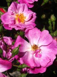 Rosa Rosy Carpet (karmozijn roze trosroos, heesterroos)