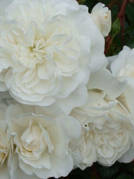 Rosa Snow Ballet (sneeuwwitte bodembedekkende trosroos, heesterroos)