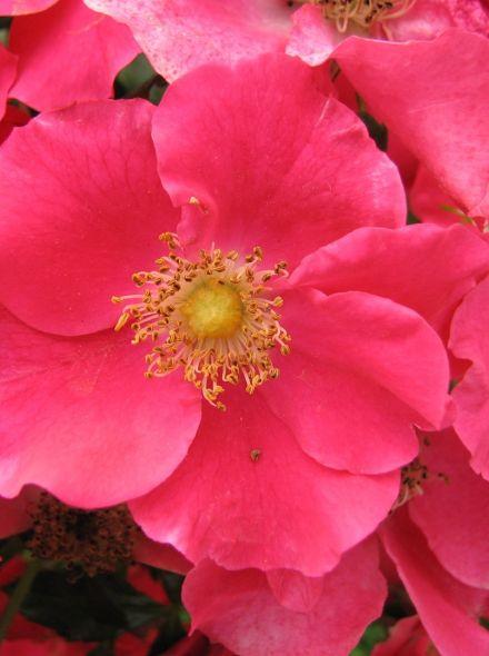 Rosa Stadt Rom (hard roze bodembedekkende trosroos, heesterroos)