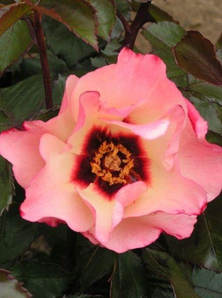 Rosa Alissar Princess of Phoenicia KW (crème-witte grootbloemige roos)
