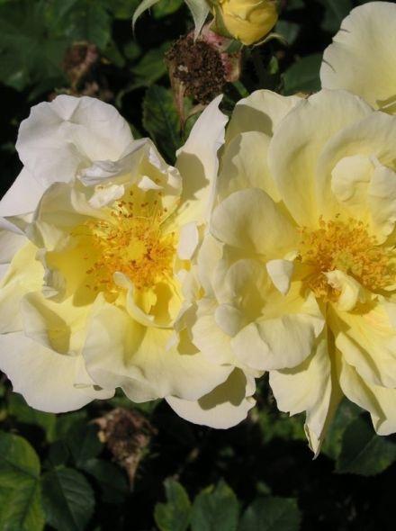Rosa rugosa Gelbe Dagmar Hastrup KW (Rimpelroos)