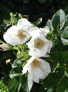 Rosa rugosa Alba KW (wit bloeiende rimpelroos)