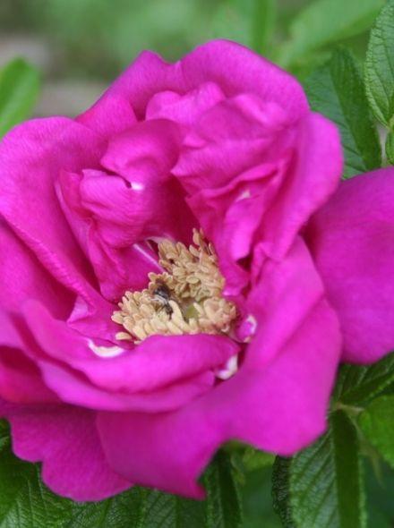 Rosa rugosa Hansa KW (roodachtig violetkleurig bloeiende rimpelroos)