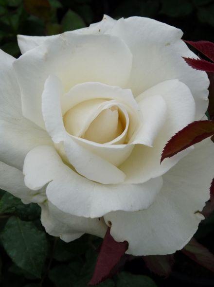 Rosa Karen Blixen (zuiver witte grootbloemige roos)