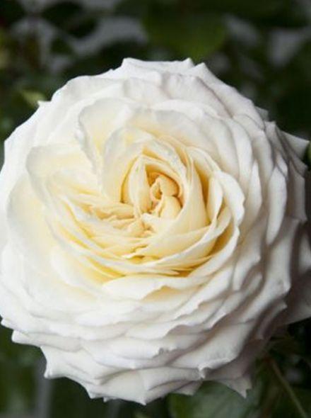 Rosa Ledreborg (witte grootbloemige roos)