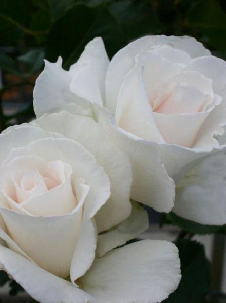 Rosa Margaret Merril (parelwitte grootbloemige roos)