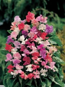 Lathyrus odoratus Fragrantissima (zaad welriekende siererwt, reukerwt, art. 38350)