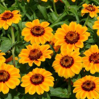 Zinnia haageana Soleado (zaad, geel oranje bloemen, art. 36290)