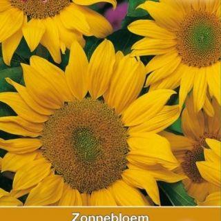 Helianthus annuus Golden Hedge (zaad halfhoge gele zonnebloem, art. 34370)