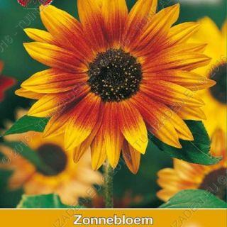 Helianthus annuus Herfstschoonheid (zaad meerkleurige zonnebloem, art. 34375)