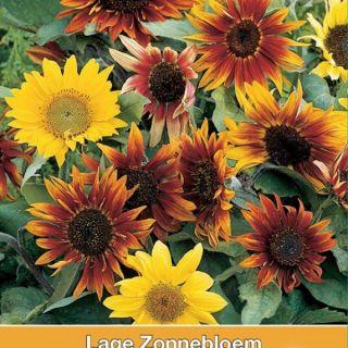 Helianthus annuus Paquito Mix (zaden lage zonnebloemen kleurenmengsel, art. 34430)