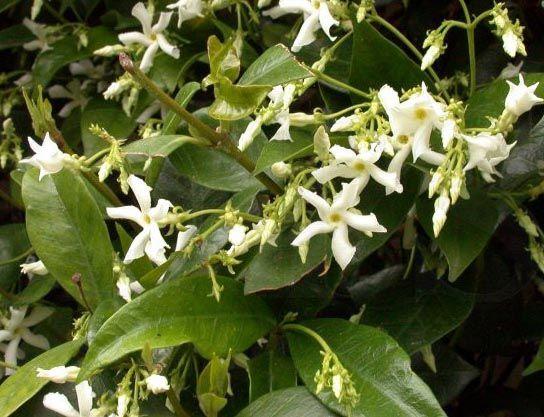 Trachelospermum jasminoides (Toscaanse jasmijn, sterjasmijn)