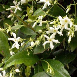 Trachelospernum jasminoides (Toscaanse Jasmijn meeneemhaag)