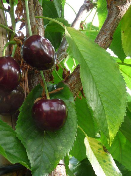 Lei-kers Merchant (Prunus avium Merchant leivorm)