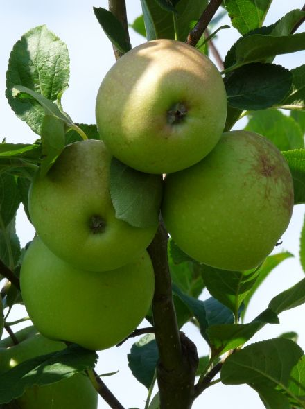 Appelboom 'Greensleeves' (Malus domestica 'Greensleeves')