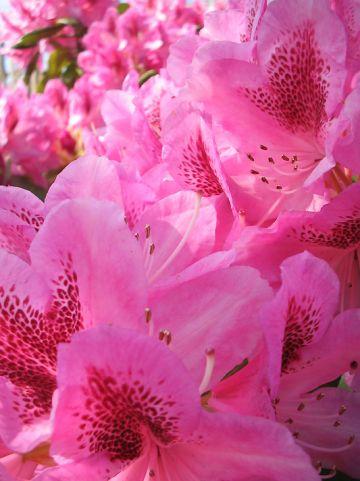 Rhododendron 'Cosmopolitan' - Rododendron