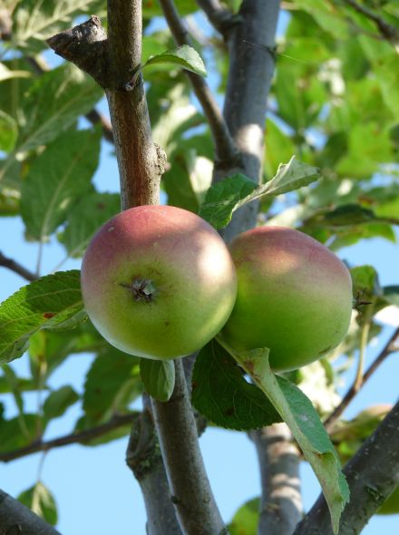 Appelboom 'Winston' (Malus domestica 'Winston', Winter King)
