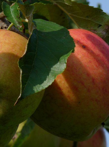 Appelboom 'Alkmene' (Malus domestica 'Alkmene')