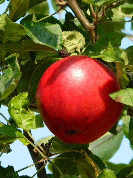 Appelboom 'Rode Jonagold' (Malus domestica 'Rode Jonagold')